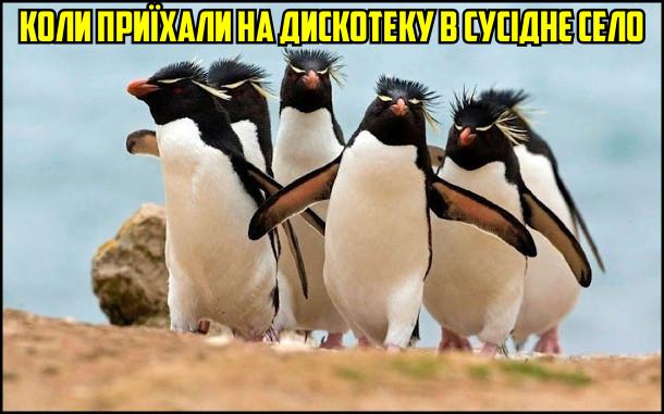Коли приїхали на дискотеку в сусіднє село. На фото: йде група пінгвінів, войовничо розмахуючи крилами