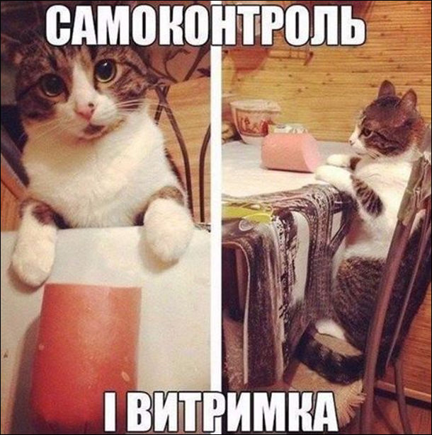 Самоконтроль і витримка. Кіт сидить за столом, а перед ним варена ковбаса. Він її не чіпає