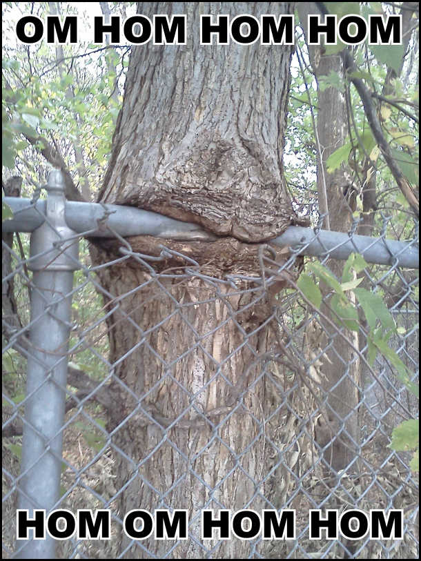 Дерево зрослось з залізною трубою. Виглядає неначе дерево їсть трубу: - Ом ном ном ном ном ом ном ном