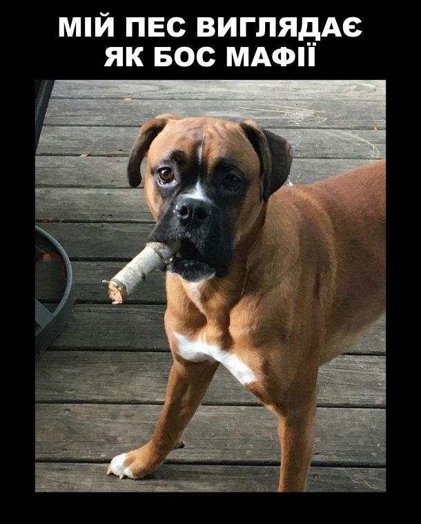 Мій пес виглядає як бос мафії. Собака з обрубком березової гілки