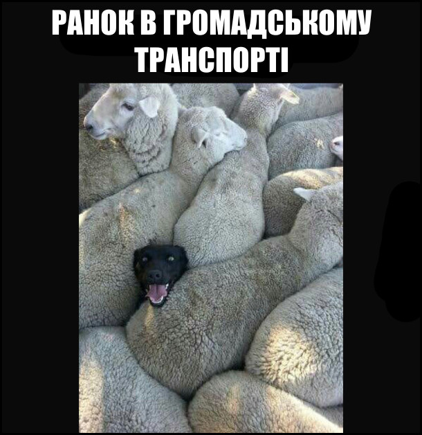 Ранок в громадському транспорті. Вівці затисли собаку, тільки голова виглядає