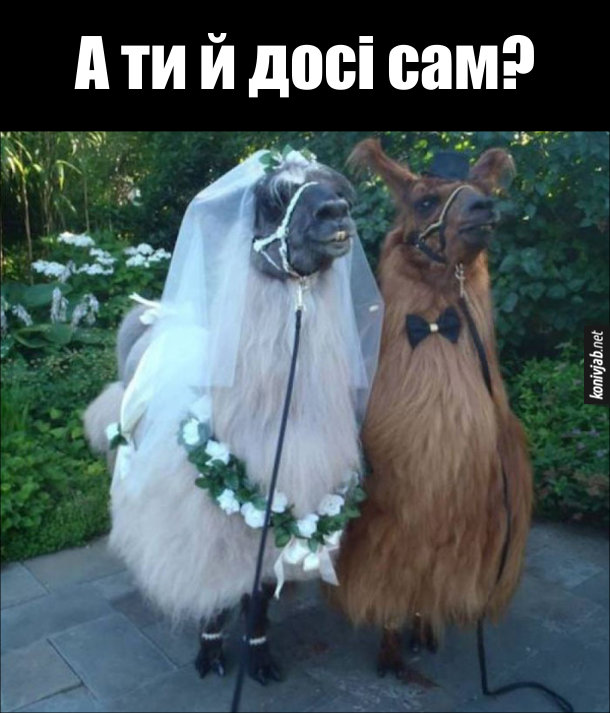 Дві смішні лами, він і вона. Вона - біла, він - коричневий. Одягнені, як наречений і наречена. От і ця пара взяла шлюб, а ти й досі сам?