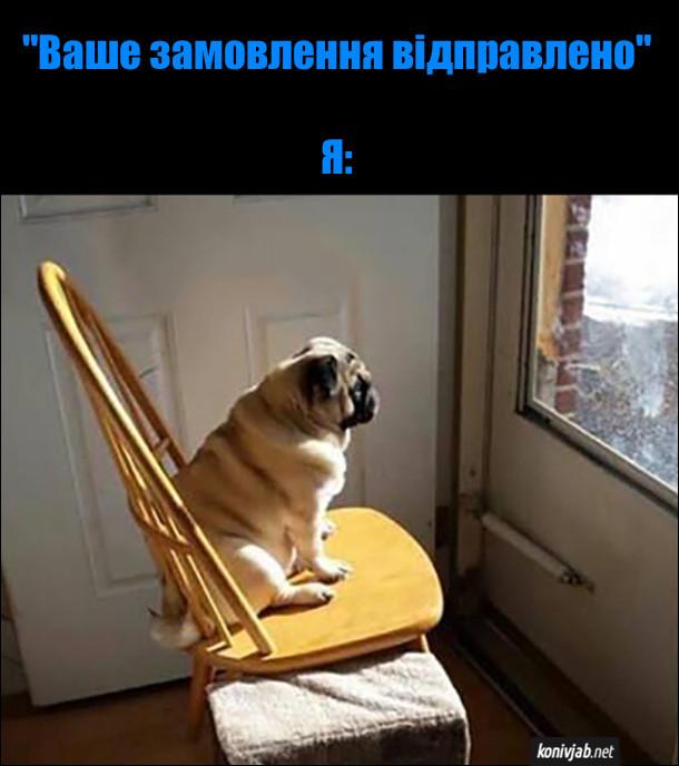 """Коли прийшло повідомлення """"Ваше замовлення відправлено"""". Собака сопс сидить на стільці біля дверей і дивиться на двір, чекає замовлення"""