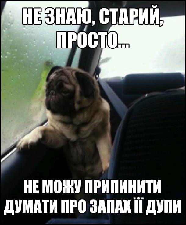 Смішний песик мопс сидить в автомобілі і зажурено дивиться у вікно. - Не знаю старий, просто не можу припинити думати про запах її дупи