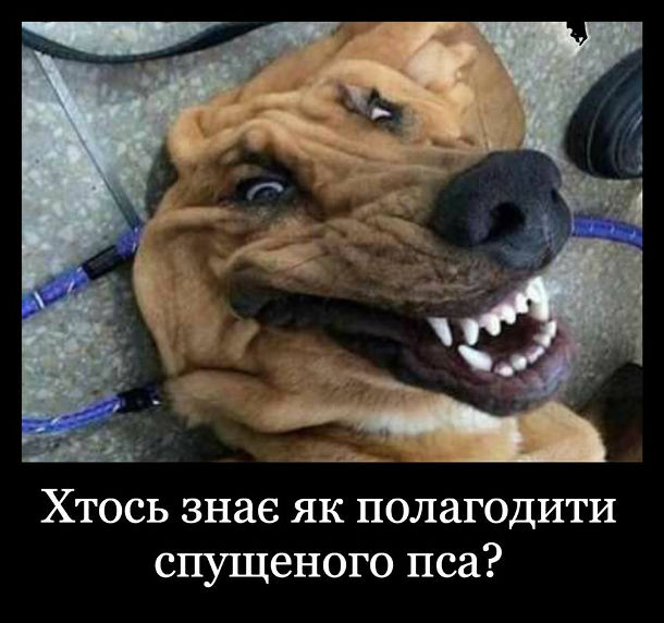 Пес з складками. Хто знає як полагодити спущеного пса? Пес в якого зморщена шкіра. Собака зі зморшками
