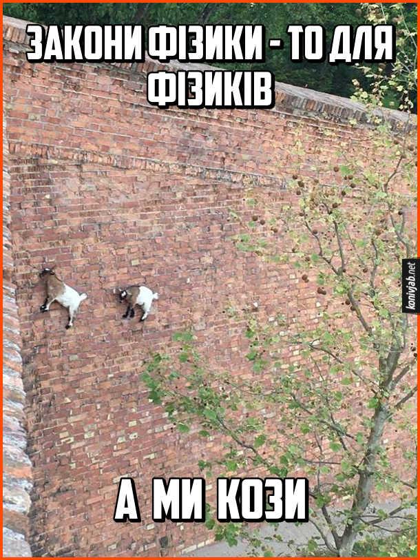 Прикол. Кози на стіні. Закони фізики - то для фізиків. А ми кози. Дивовижне фото, де коли (чи цапи) тримаються на вертикальній цегляній стіні