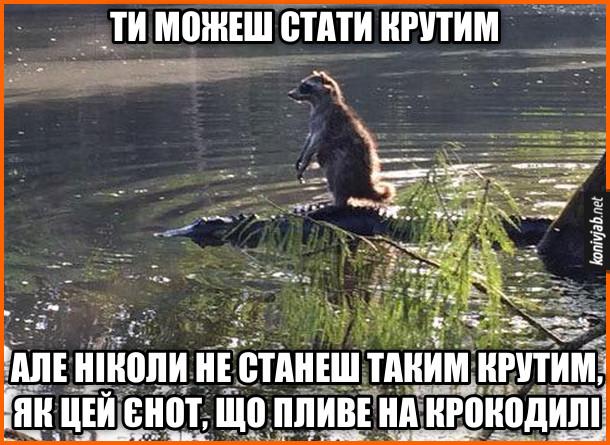 Прикол Єнот пливе на крокодилі. Ти можеш стати крутим, але ніколи не станеш таким крутим, як цей єнот, що пливе на крокодилі
