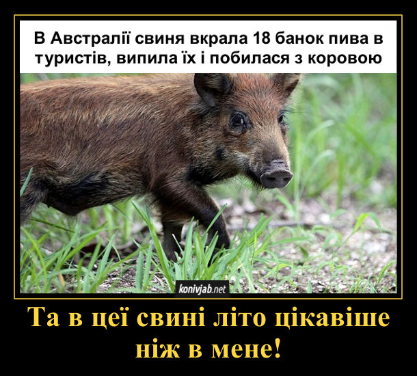 Смішна новина про свиню: В Австралії свиня вкрала 18 банок пива в туристів, випила їх і побилася з коровою. Та в цеї свині літо цікавіше ніж в мене!
