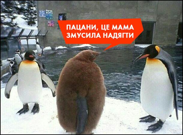 Смішне фото про пінгвінів. В зоопарку у вольєрі пінгвінів, один з пінгвінів ще має дитяче оперення. - Пацани, це мама змусила надягти
