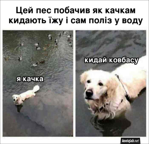 Фото прикол Собака. Цей пес побачив як качкам кидають їжу і сам поліз у воду: - Я качка. Кидай ковбасу