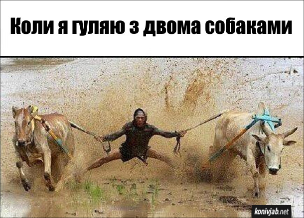 Коли я гуляю з двома собаками, виглядає, ніби я беру участь в перегонах биків