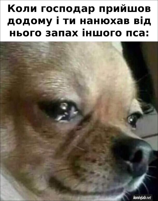 Мем Ревнивий собака. Коли господар прийшов додому і ти нанюхав від нього запах іншого пса: в песика сльози на очах