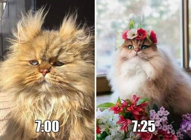 Мем Про ранок. о 7:00 кішка прокинулась вся закудлана. А вже о 7:25 - доглянута, розчесана, з віночком на голові
